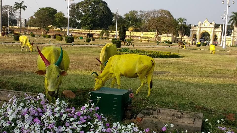 2017 India yellow cows