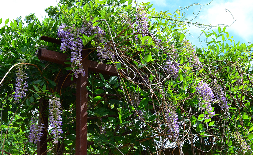 Wysteria dominates iron art trellis on west wall of Kleinpell Fine Arts