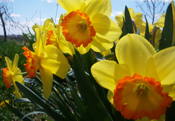 Sun Shiny Daffodils by Lauren Wendt 2011
